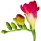 Frésia: Em Busca da Flor