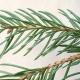 Aromas de Natal: Parte I, Picea