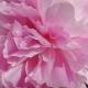 Peônias na Perfumaria e seu Cultivo