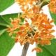 Nota de Perfume – Flor de Osmanthus