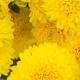 Uma Cachoeira de Flores Amarelas: Traduzindo a Cor em Elementos Olfativos