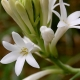 Tuberosa: Flor, Aroma, História e Perfume